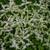 Sedum ternatum - Three-leaved Stonecrop