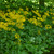 Senecio aureus - Golden Ragwort (Packera aurea)