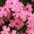 Silene caroliniana - Wild Pink