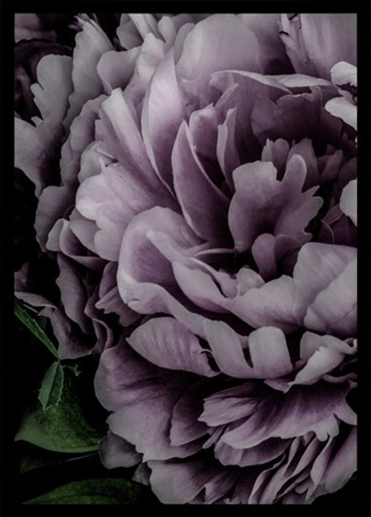 Pink Carnation | close up