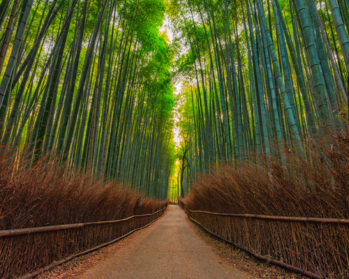 Photography   Bamboo Forest    by Nick Psomiadis