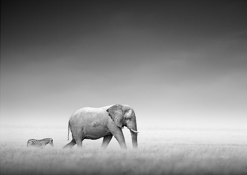 Black and White Elephant and Zebra in the Wild | Canvas Print | Print Decor