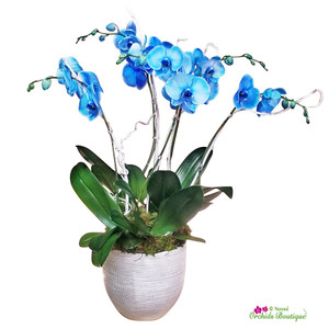 Exotic Blue Phalaenopsis Orchid Arrangement