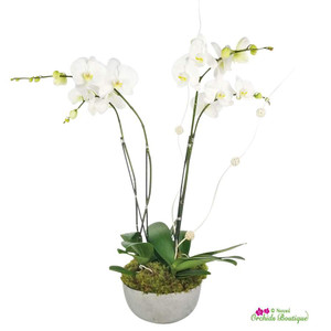Modern Just Because Phalaenopsis Orchid Arrangement
