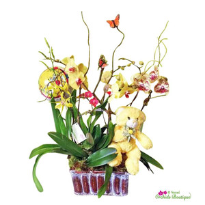 Newborn Happiness Mixed Phalaenopsis Orchid Arrangement