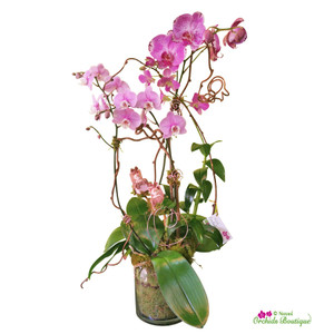 Lovely Twins Newborn Phalaenopsis Orchid Arrangement