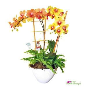 Welcome Baby Phalaenopsis Orchid Arrangement