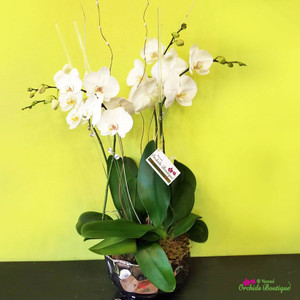 Elegant Contemporary White Phalaenopsis Orchid Arrangement