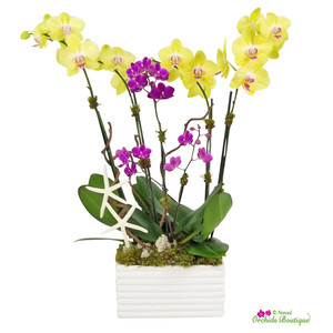 Summer In Miami Phalaenopsis Orchid Arrangement