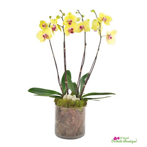 Brighten My Day Phalaenopsis Orchid Arrangement