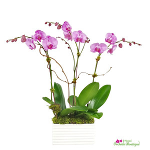 Killing Me Softly Phalaenopsis Orchid Arrangement