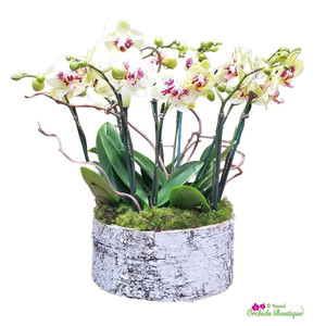 Rustic Look But Lovely Phalaenopsis Orchid Arrangement