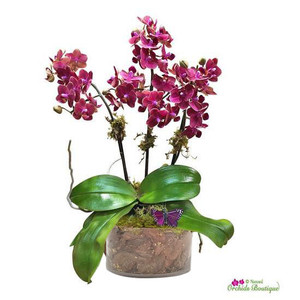 Sweet As A Coconut Phalaenopsis Orchid Arrangement