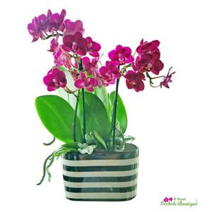 Little Piece Of Mini Divine Phalaenopsis Orchid Arrangement