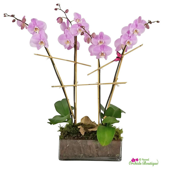 Bright Light In Glass Phalaenopsis Orchid Arrangement