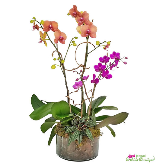 Love Is Here Phalaenopsis Orchid Arrangement