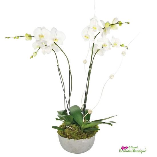 Modern Just Because Phalaenopsis Orchid Arrangement