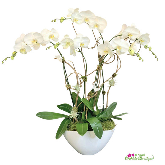 Exotic Modern White Phalaenopsis Orchid Arrangement
