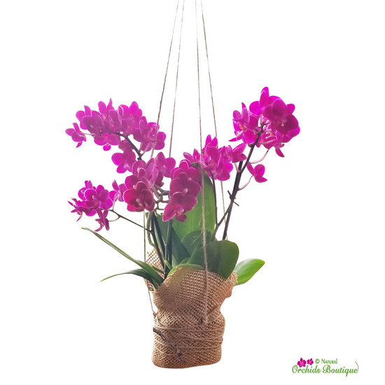 Love Is In The Air Phalaenopsis Orchid Hanging Arrangement