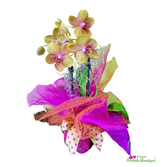 Wrap Your Love Phalaenopsis Orchid Arrangement