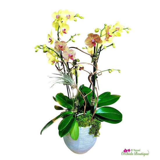 Love and Peace Phalaenopsis Orchid Arrangement