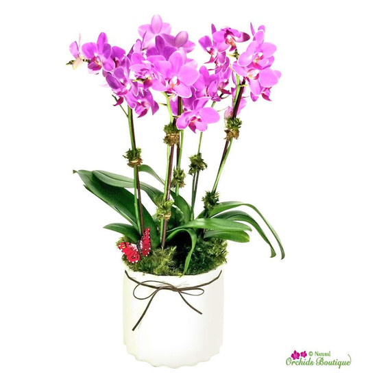 Into Classic Phalaenopsis Orchid Arrangement