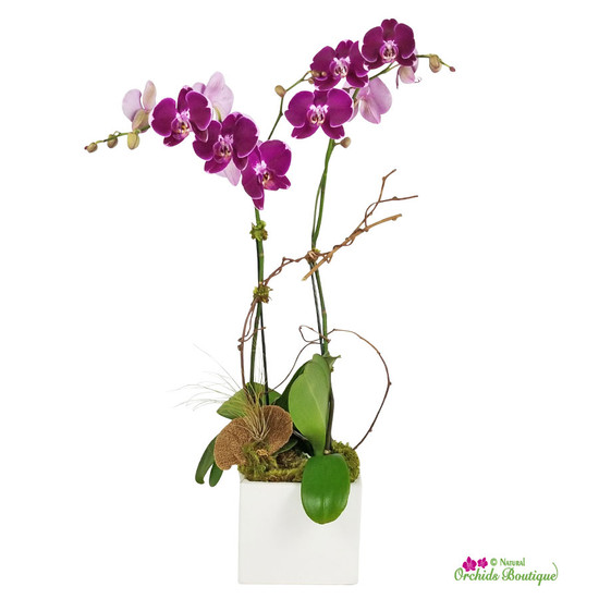 Love In Passion Phalaenopsis Orchid Arrangement
