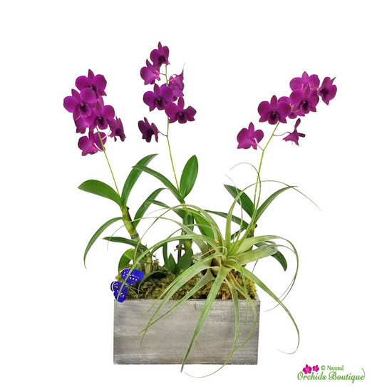Deep In Love Dendrobium Orchid Arrangement