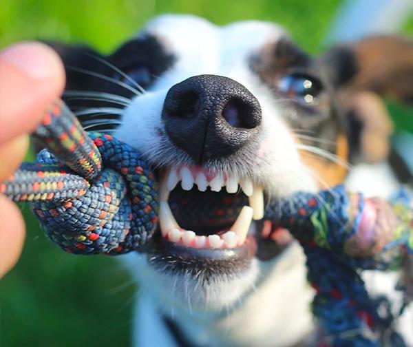 Cuidado dental perro