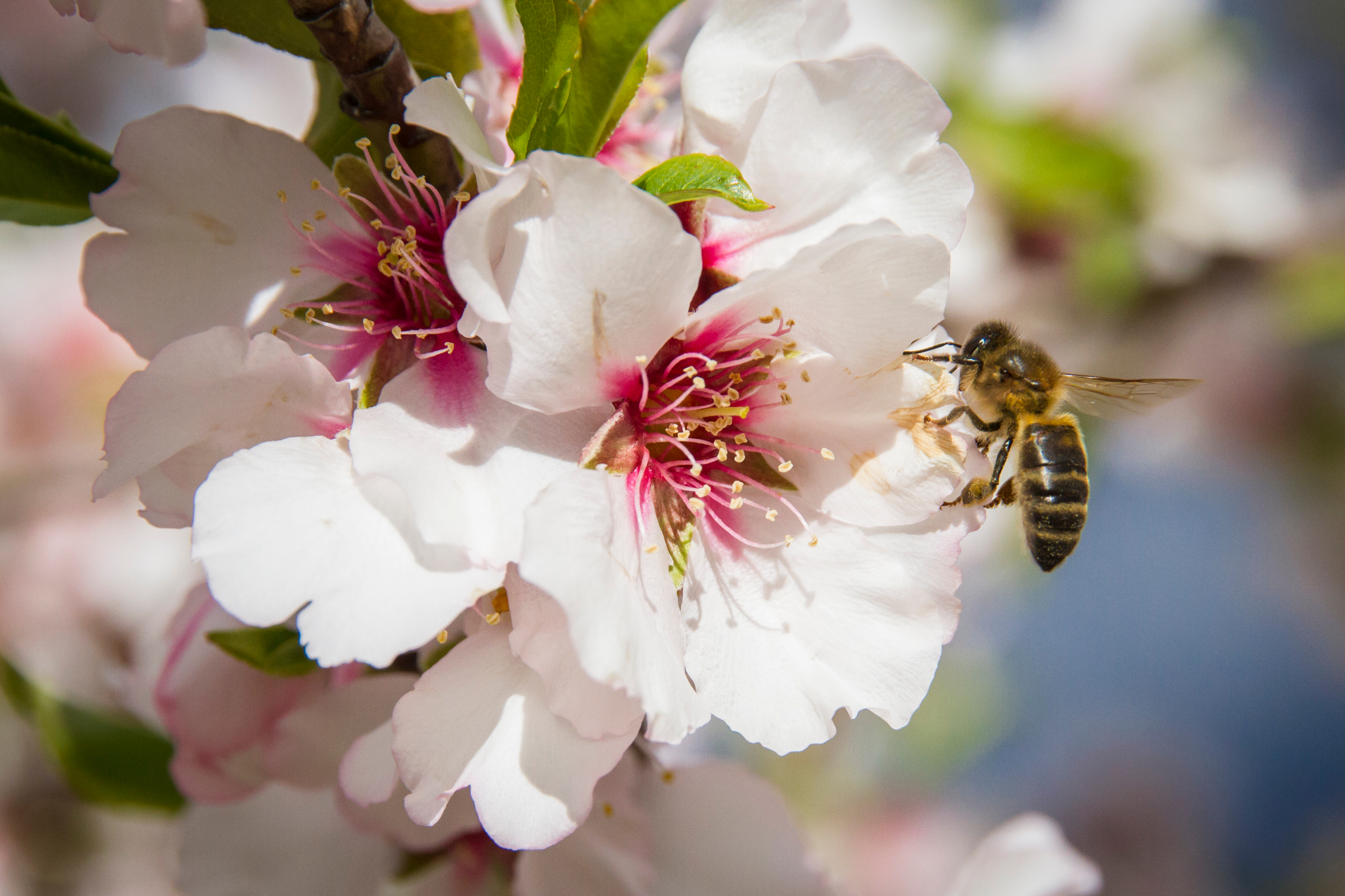 bee on almond blossom
