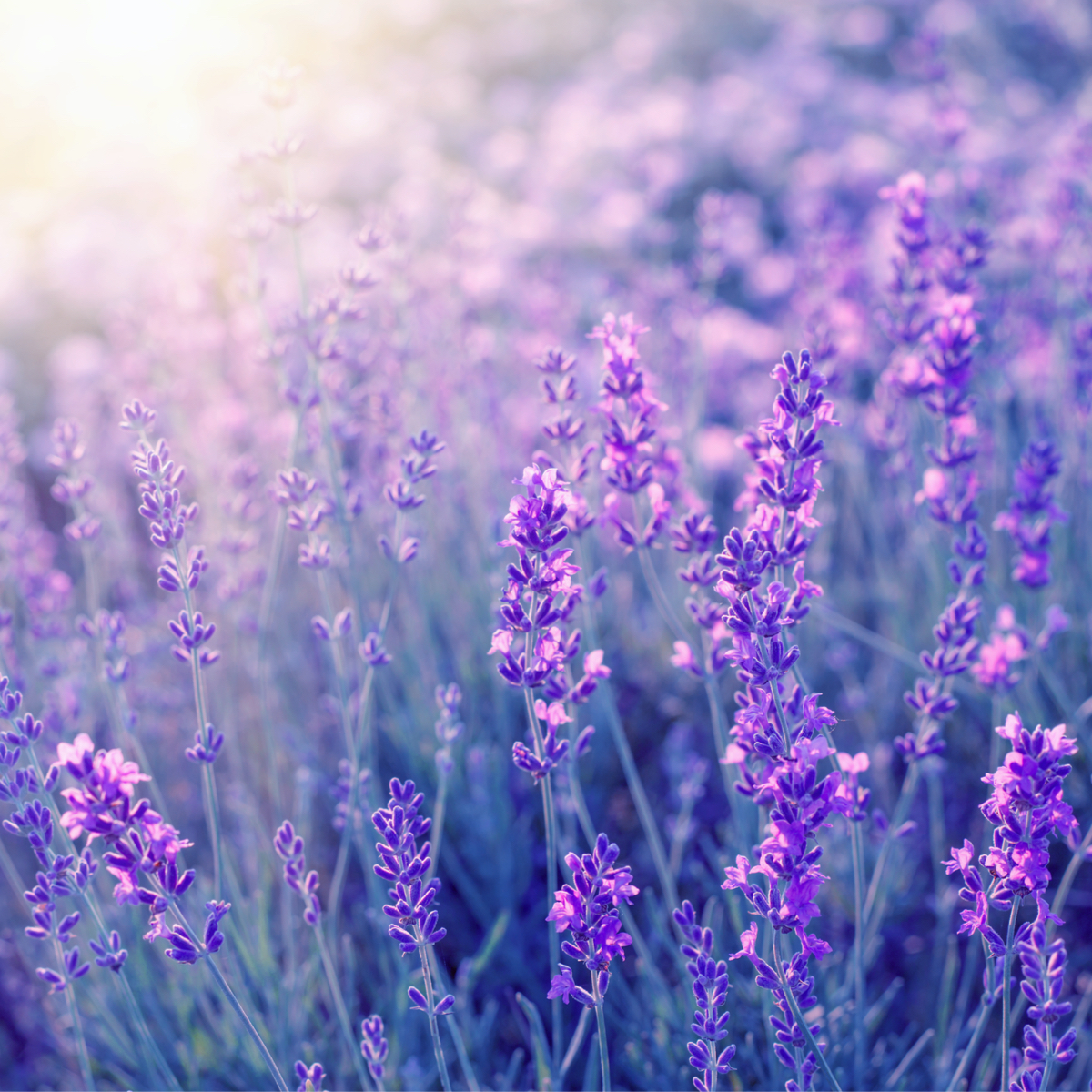 Try our luxury lavender skincare products