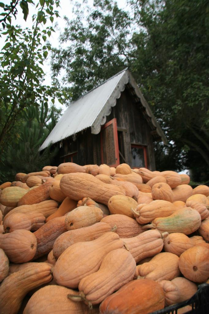 Fall Harvest - Butternut Rugosa - Mariquita Farm