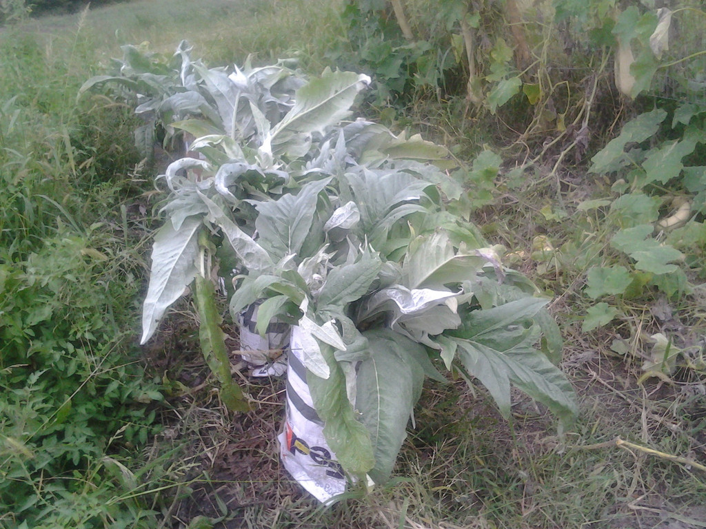 Cardoon can be blanched by tying up the plants and covering with a sack or burlap.