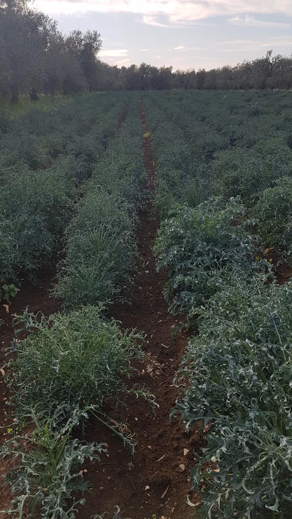 Cavolo Broccolo Spigariello Foglia Riccia
