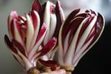 Chicory & Radicchio