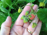 Copious, small, very-sweet berries.  Lawrence, Kansas