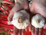Garlic varieties explained