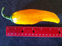 As big and beautiful in the Seeds from Italy trial garden as the photo on the package!
