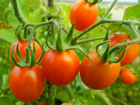 Red Cherry tomatoes ready to pick.