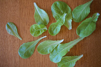 Testa di Burro d'Inverno can be cut in the baby leaf stage for a tender, sweet salad.