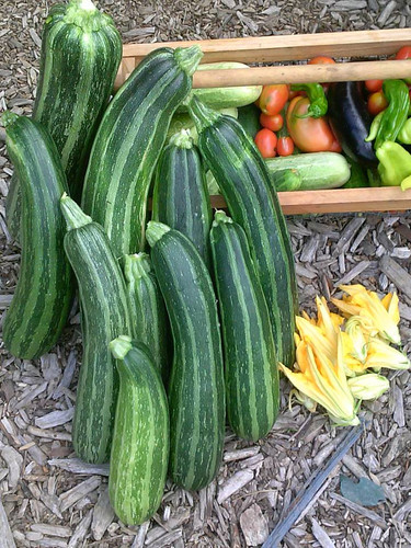 Beautiful Striato Zucchini grown by Gregory K.