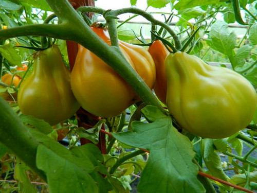 Red Pear bears lots of tomatoes even in hot summers.