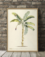 Musa. Plantae Print