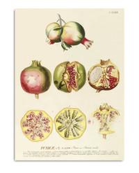 Punicae. Plantae Print