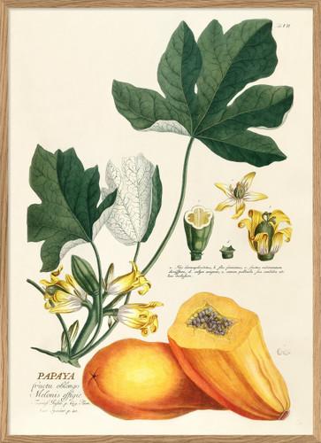 Papaya by Dybdahl
