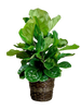 Fabulous Fiddle-Leaf Fig:  glossy green fiddle leaf fig plant (Ficus Lyrata) in a 12-inch woven basket