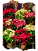 Holiday Pointsettias:  Red, white, pink, and bicolor pointsettias plants n 8-inch pots, covered in gold plant wrappers.