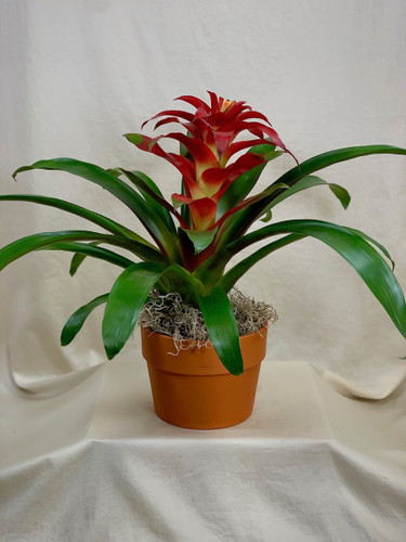 Beautiful Bromeliad:  Red bromeliad plant in a terracotta pot