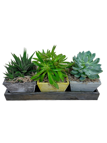 Succulent Garden Trio:  trio of succulent plants in a rustic wooden tray