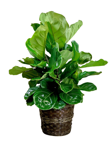 Fabulous Fiddle-Leaf Fig:  glossy green fiddle leaf fig plant (Ficus Lyrata) in a 12-inch woven basket